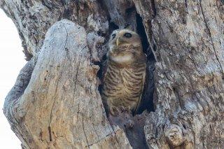 White-browed_Owl.jpg