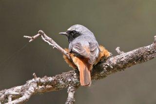 Common-Redstart.jpg