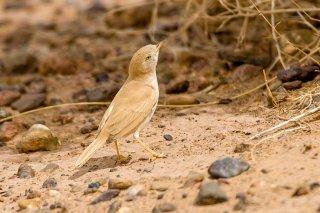Desert-Warbler.jpg