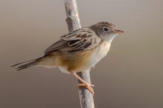 Fan-tailed-Warbler.jpg