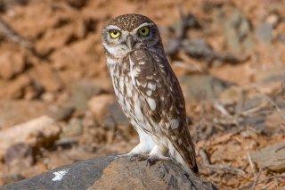Little-Owl.jpg