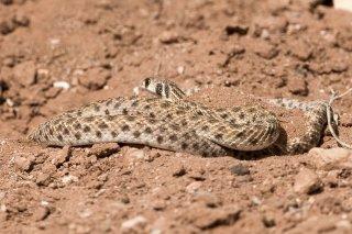 Sahara-Desert-Snake.jpg