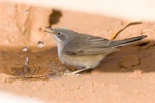 Subalpine-Warbler.jpg