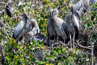 Asian Openbill (j) - Anastomus oscitans