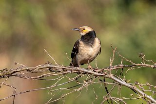 Black-collared Starling - Gracupica nigricollis