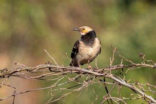 Black-collared Starling - Gracupica nigricollis