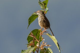 Black-throated Prinia - Prinia atrogularis