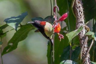 Black-throated Sunbird - Aethopyga saturata