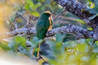 Blue-bearded Bee-eater - Nyctyornis athertoni