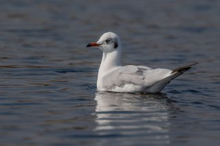 Brown-headed Gull - Chroicocephalus brunnicephalus