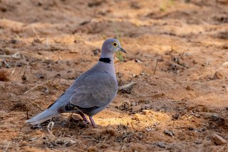 Burmese Collared Dove - Streptopelia xanthocycla