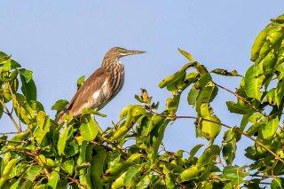 Chinese Pond Heron - Ardeola bacchus