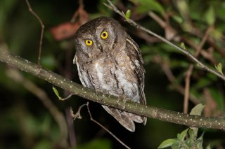 Collared Scops Owl - Otus lettia