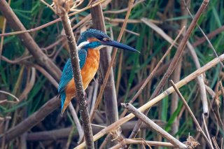 Common Kingfisher - Alcedo atthis