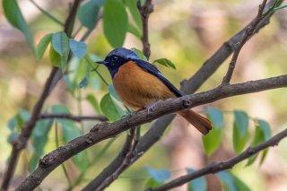 Daurian Redstart - Phoenicurus auroreus