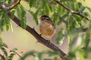 Dusky Warbler - Phylloscopus fuscatus