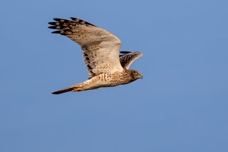 Eastern Marsh Harrier - Circus spilonotus