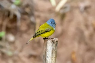 Grey-headed Canary-flycatcher - Culicicapa ceylonensis
