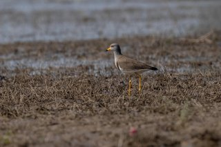 Grey-headed Lapwing - Vanellus cinereus