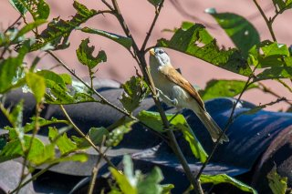 Grey-headed Parrotbill - Psittiparus gularis