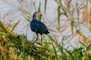 Grey-headed Swamphen - Porphyrio poliocephalus