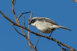 Grey Bush Chat - Saxicola ferreus