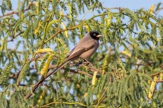 Hooded Treepie - Crypsirina cucullata