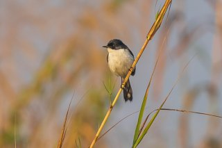 Jerdon's Bush Chat - Saxicola jerdoni