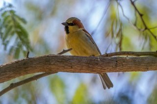 Plain-backed Sparrow - Passer flaveolus