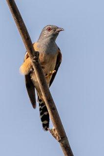 Plaintive Cuckoo - Cacomantis merulinus