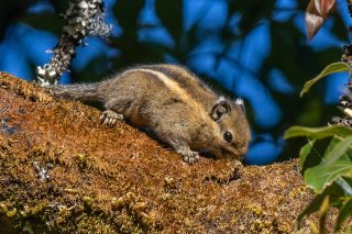 Pygmy Striped Squirrel