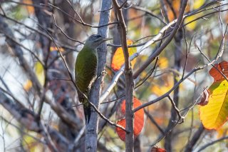 Streak-throated Woodpecker - Picus xanthopygaeus
