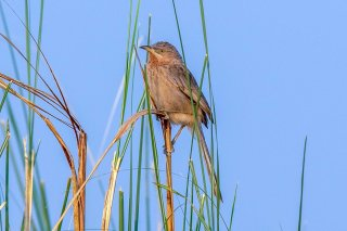 Striated Babbler - Argya earlei