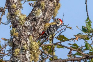 Stripe-breasted Woodpecker - Dendrocopos atratus