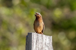 Striped Laughingthrush - Trochalopteron virgatum