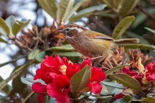 White-browed Fulvetta - Fulvetta vinipectus