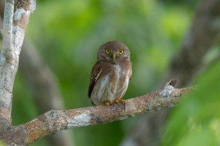 Amazonian-Pygmy-Owl.jpg