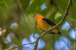 Band-tailed-Manakin.jpg
