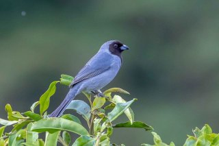 Black-faced-Tanager.jpg