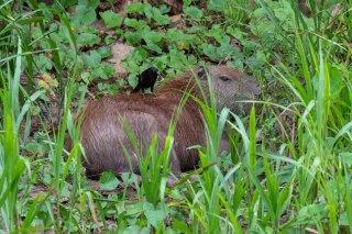 Capybarra-Giant-Cowbird.jpg