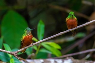 Chestnut-breasted-Coronet.jpg
