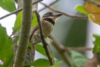 Chestnut-capped-Puffbird.jpg