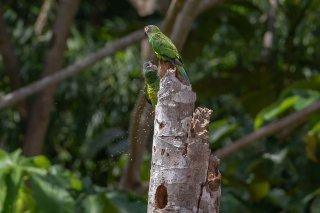 Dusky-headed-Parakeet.jpg