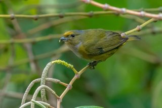 Golden-bellied-Euphonia.jpg