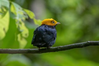Golden-headed-Manakin.jpg