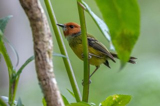 Johnsons-Tody-Flycatcher.jpg