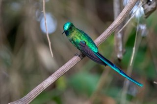 Long-tailed-Sylph.jpg