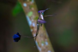 Marvelous--Spatuletail.jpg