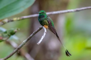 Peruvian-Booted-Racket-tail.jpg