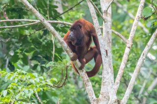 Red-Howler-Monkey.jpg